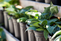 A row of green plants in pots